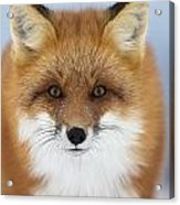 Red Fox Staring At The Camerachurchill Acrylic Print
