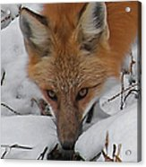 Red Fox Upclose Acrylic Print
