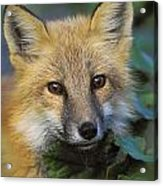 Red Fox Vulpes Vulpes, Gros Morne Acrylic Print