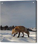 Red Fox Walking In Snow Alaska Acrylic Print
