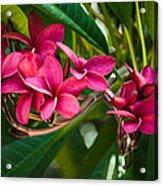 Red Frangipani Flowers Acrylic Print