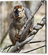 Red-fronted Lemur  Eulemur Rufifrons Acrylic Print