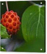 Red Fruit Acrylic Print