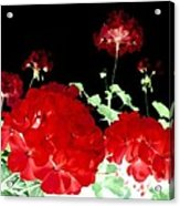 Red Geraniums Acrylic Print by Will Borden