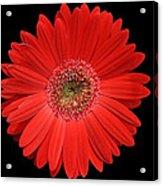 Red Gerber Daisy #2 Acrylic Print