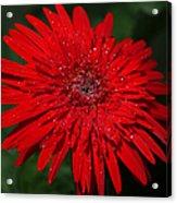 Red Gerbera Daisy Delight Acrylic Print
