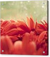 Red Gerbera With Green Background Acrylic Print