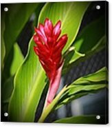 Red Ginger 2 Acrylic Print