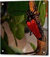 Red Glowing Beetle Acrylic Print