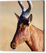 Red Hartebeest Portrait Acrylic Print