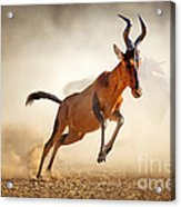 Red Hartebeest Running In Dust Acrylic Print