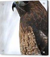 Red Hawk I Acrylic Print by Sharon Elliott