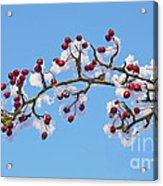 Red Haws Frosted By Snow Acrylic Print