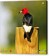 Red-headed Woodpecker Acrylic Print