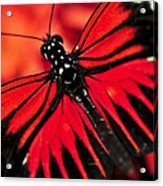 Red Heliconius Dora Butterfly Acrylic Print