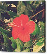 Red Hibiscus Flower Acrylic Print