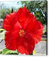 Red Hibiscus In The Neighborhood Acrylic Print