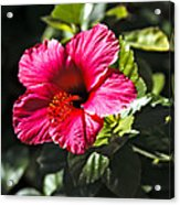 Red Hibiscus Acrylic Print by Robert Bales