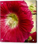 Red Hollyhock Althaea Rosea Acrylic Print