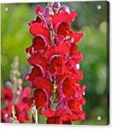 Red Snapdragon Acrylic Print