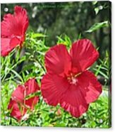 Red Hollyhocks Acrylic Print