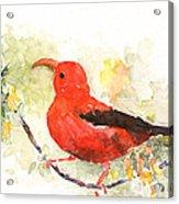 I'iwi - Hawaiian Red Honeycreeper Acrylic Print