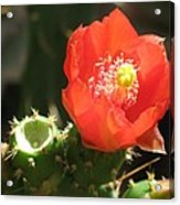 Hot Red Cactus Acrylic Print