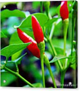 Red Hot.. Chillis Acrylic Print