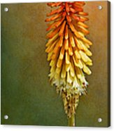 Red Hot Poker Acrylic Print