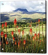 Red Hot Pokers Of The Andes Acrylic Print