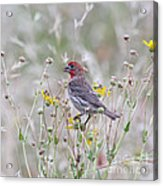 Red House Finch In Flowers Acrylic Print