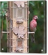Red House Finch Acrylic Print