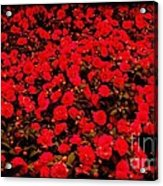 Red Impatiens Flowers Acrylic Print