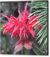 Red In Summer Acrylic Print