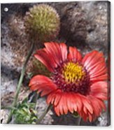 Red Indian Blanket Acrylic Print