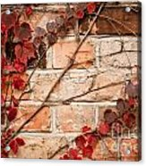 Red Ivy Leaves Creeper Acrylic Print