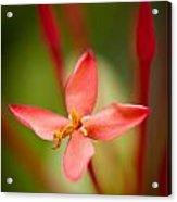 Red Ixora Flower Acrylic Print