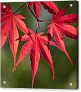 Red Japanese Maple Leafs Acrylic Print
