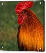 Red Jungle-fowl Acrylic Print