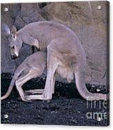 Red Kangaroo. Australia Acrylic Print