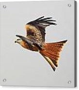 Red Kite Soaring Acrylic Print