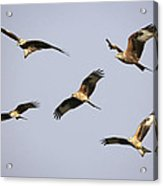 Red Kites Montage Acrylic Print