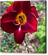 Red Lady Lily 1 Acrylic Print