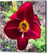 Red Lady Lily 2 Acrylic Print