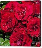 Red Lavaglut Lavaglow Floribunda Roses Acrylic Print