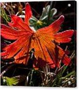 Red Geranium Leaf  Acrylic Print