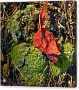 Red Leaf On Moss Acrylic Print