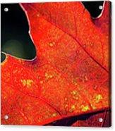 Red Leaf Rising Acrylic Print