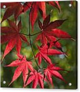 Red Leafs Of The Maple Acrylic Print