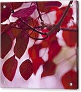 Red Leaves - Euphorbia Cotinifolia - Tropical Smoke Bush Acrylic Print